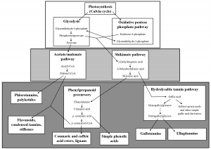 General Phenolic Biosynthesis Pathways