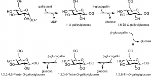 The main pathway in the formation of 1,2,3,4,6-penta-O-galloylglucose. The letter G is used to describe a galloyl unit.