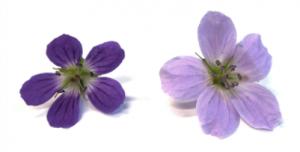 Geranium sylvaticum petals