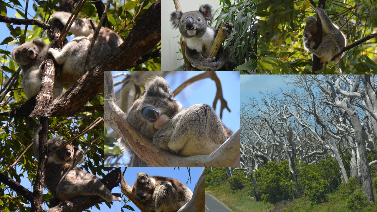 Ncrg tannin analyses expand to australia natural - Koala components ...